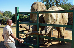 South Africa – Johannesburg – Animal welfare at the Joburg zoo. Following many concerns about wildlife animals at the zoo on social media, we pay the zoo a visit to check up on their daily operation and though the staff rotate to maintain lock down regulation and social distance we found that the animal are not neglected by staff however miss visitors as a result. Elephant Lammie and Mopani   . Picture: Timothy Bernard/African news Agency(ANA)
