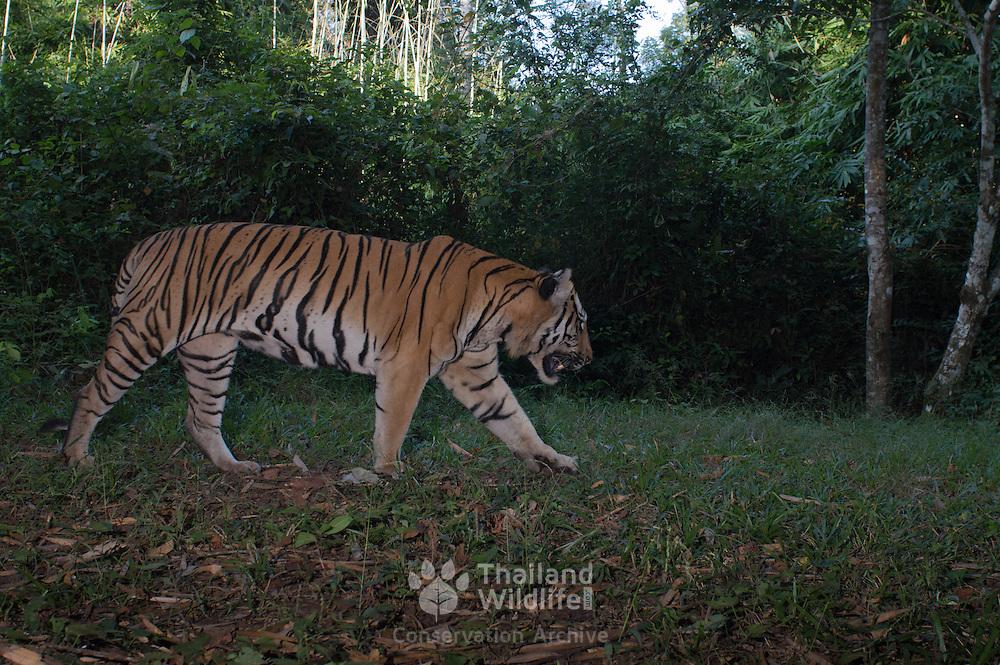 panthera tigris corbetti wildlife photography thailand