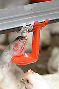 Chickens drinking from a feeding nipple in a chicken coop Photographed in Kibbutz Maagan Michael, Israel