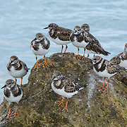 Ruddy Turnstones grouping in a rock at Rum Point..Grand Cayman Island.