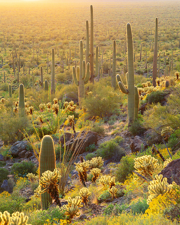 0115-1008LVT ~ Copyright: George H. H. Huey ~ Saguaro cacti [Carnegiea gigantea], teddy bear cholla [Optunia bigelovii] and brittlebush [ Encelia farinosa].  Tucson Mountains. Saguaro National Park, Arizona.