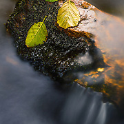 leaves on rock, Under the bridge, Allt Kinglass