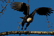 An adult bald eagle (Haliaeetus leucocephalus) takes off from a branch in the Brackendale Eagles Provincial Park in Brackendale, British Columbia, Canada.
