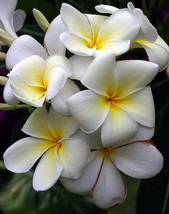 singapore plumeria, Plumeria obtusa