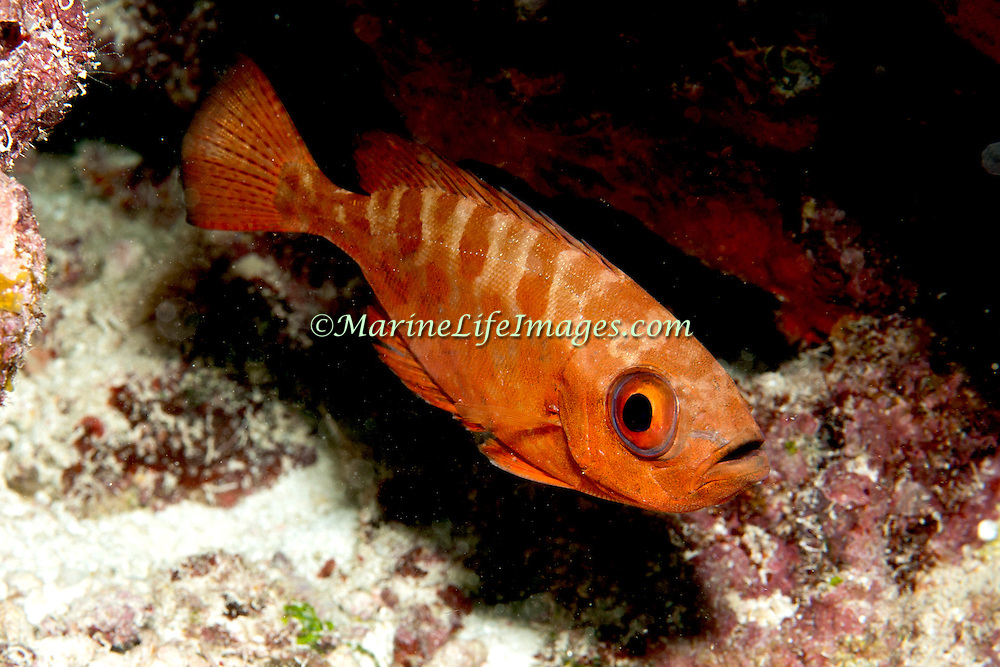 Glasseye Snapper inhabit shallow reefs, often drift in recesses,under ledges and other protected areas in Tropical West Atlantic; pucture taken Grand Turk.