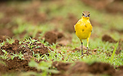 Yellow wagtail (Motacilla flava). Yellow wagtails are insectivorous, preferring to live in open country where it is easy to spot and pursue their prey. Photographed in Israel in August