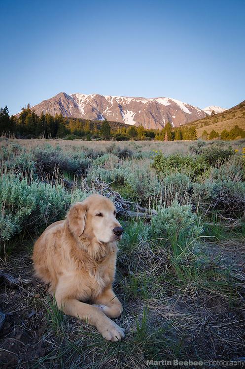 Dog (golden retriever) resting in sagebrush meadow below Parker Peak in the Eastern Sierra Nevada, Inyo National Forest, California
