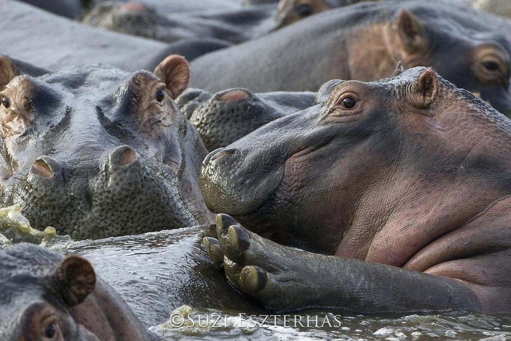 Common Hippopotamus <br /> Hippopotamus amphibious<br /> Serengeti National Park, Tanzania