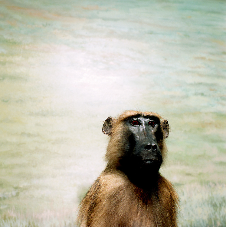 Studio portrait of guinea baboon in front of painted grass plains mural