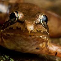 Ranid Frog, Bale Mountains National Park, Ethiopia