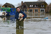 © Licensed to London News Pictures. 12/02/2014. Old Windsor, UK. Freddy a boat owner carries Foxy his dog through floodwater to dry land for a walk.  Flooding in OLD WINDSOR in Surrey today 11th February 2014 after the River Thames burst its banks. The Environment Agency has issued 14 Severe Flood Warnings alone the Thames. Photo credit : Stephen Simpson/LNP