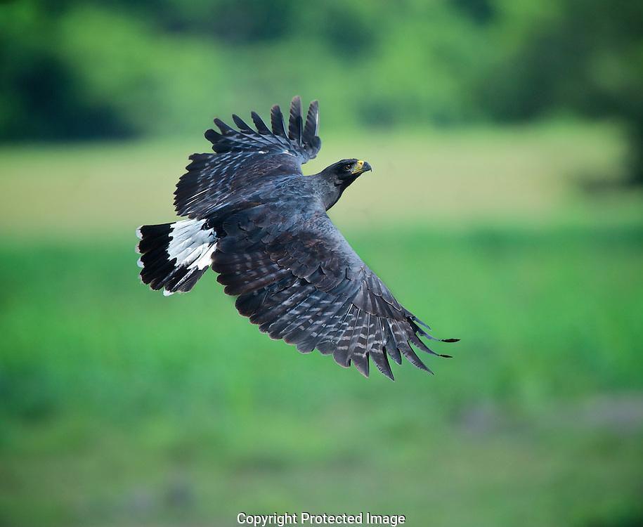 Great Black-hawk in Flight. (Buteogalus urubitinga), Araras Eco Lodge, Matto Grosso, Brazil, Isobel Springett