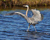 Great Blue Heron Walking on Water. Merritt Island National Wildlife Refuge. Image taken with a Nikon D4 camera and 500 mm f/4 VR lens (ISO 500, 500 mm, f/7, 1/4000 sec).