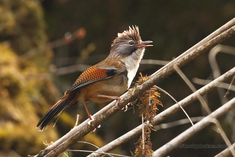 Hoary-throated Barwing, Actinodura nipalensis, Bhutan, by Markus Lilje