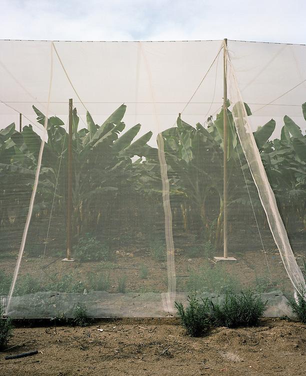 Bananeraie d'une colonie juive en Territoires occupés.