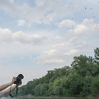 Yearly few days long swarming of the long-tailed mayfly (Palingenia longicauda) on the river Tisza in Tiszakürt (some 135 km south-east from Budapest), Hungary. Monday, 15. June 2009. ATTILA VOLGYI The long-tailed mayfly larves live 3 years under water level in the river banks then swarm out for a one day period of their life to die after mating.