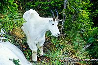 Mountain Goat, Logan Pass, Glacier National Park, Montana USA