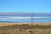 Cattle graze in the grasslands north of Sonoita, Arizona, USA.
