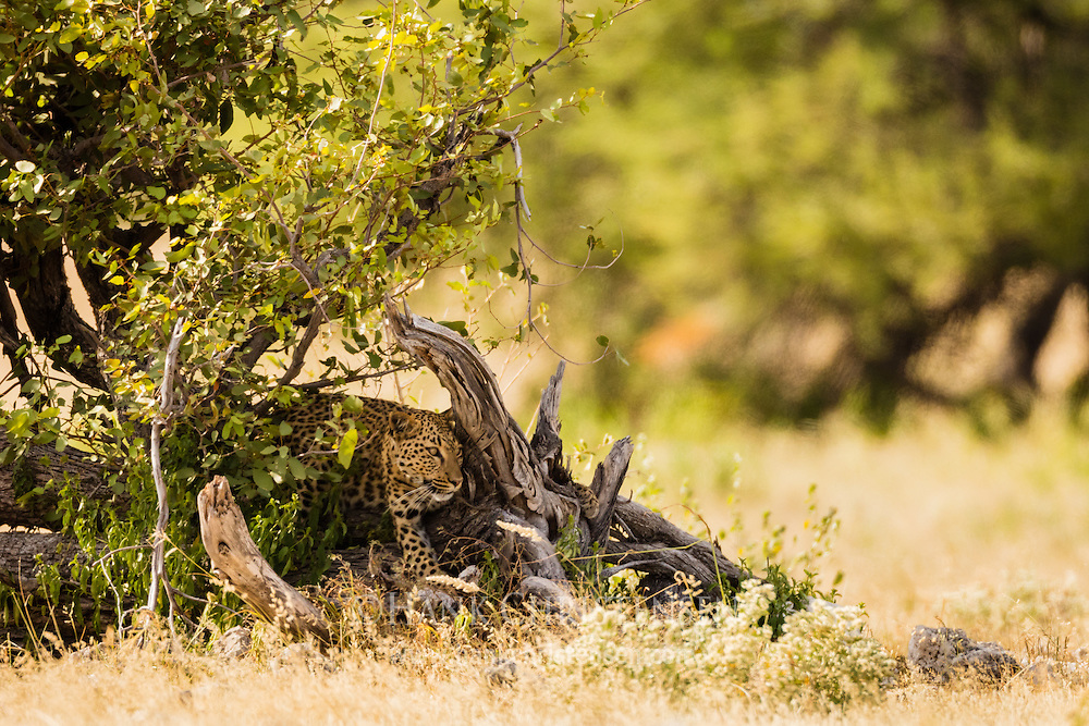 An african leopard hides in the shade as it closely watches a herd of springbok, Etosha National Park, Namibia.