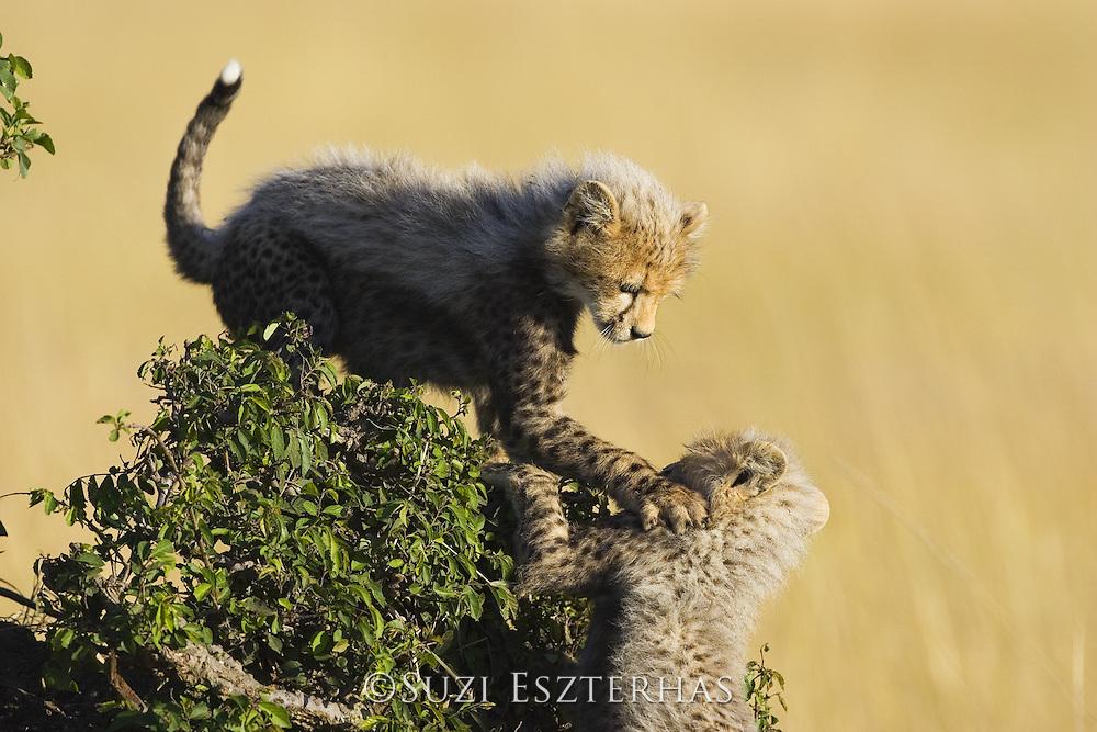 Cheetah<br /> Acinonyx jubatus<br /> 10-12 week old cub (s) playing in acacia bush<br /> Maasai Mara Reserve, Kenya