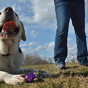 "BATH, Maine --  Ellen Jones, right, of Bath, holds up a ball for her dog, Rolley, a 6-year old White Labrador Retriever, at the Bath Dog Park on Friday. Jones and Rolley are regular visitors, "" we come about once a week,"" she said.  They both love the park. Photo by Roger S. Duncan for The Forecaster."
