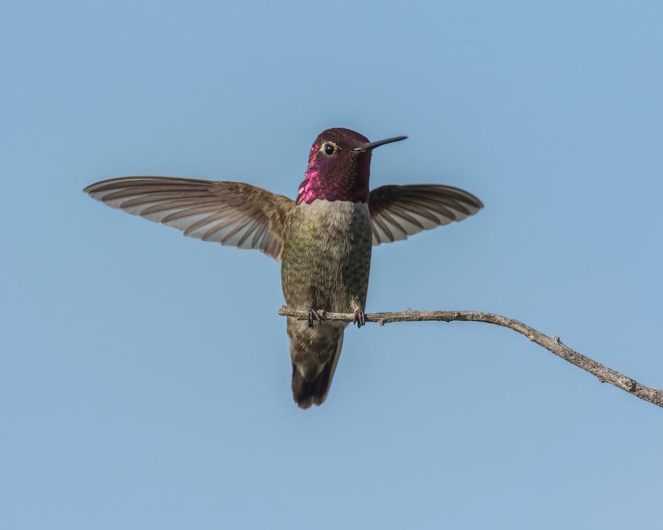Anna's hummingbird (Calypte anna), Morro Bay, California