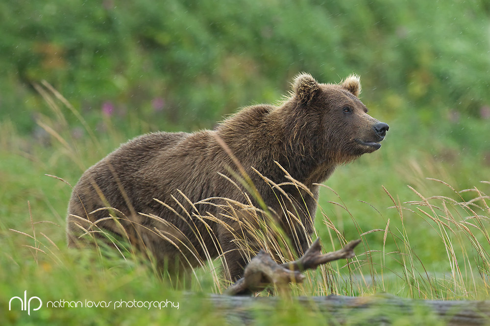Brown bear (Ursus arctos) standing in field; Katmai National Park, Alaska in wild.