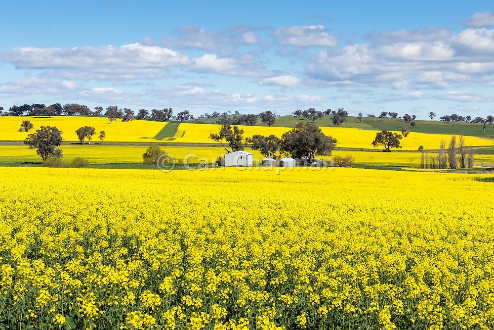 barn and silos in a field of flowering canola crop under blue sky and cumulus cloud at Woodstock, New South Wales, Australia.