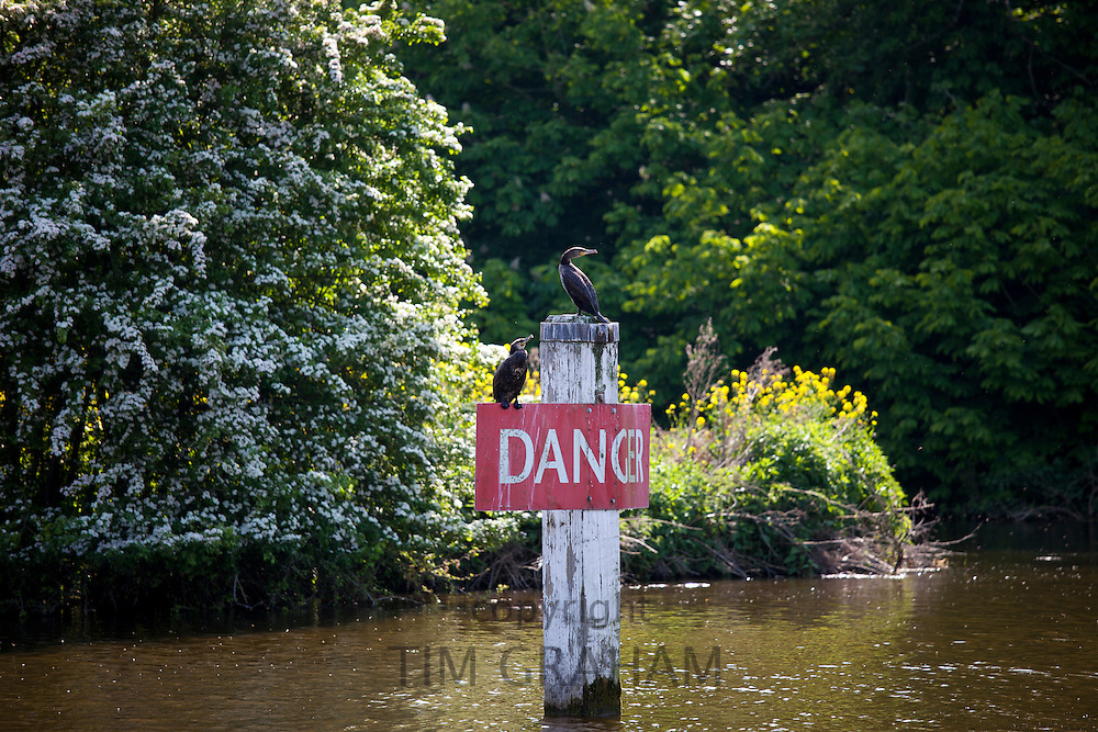 Cormorant birds on Danger sign on the River Thames in Berkshire, UK