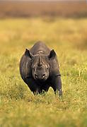 Charging black  rhino, Ngorongoro Conservation Area, Tanzania.