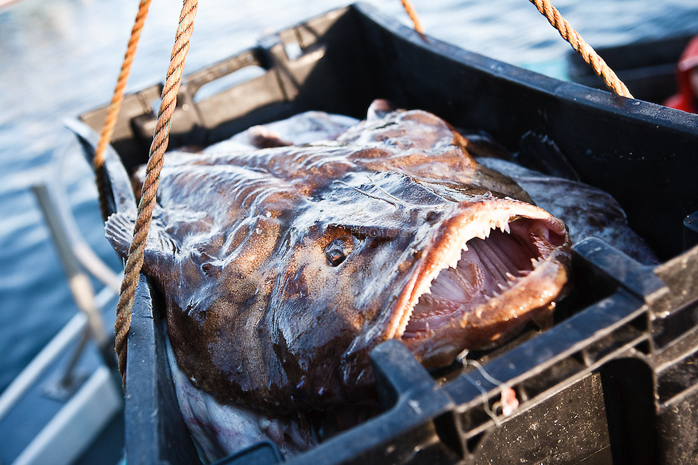 Ted Platz, a monkfisherman, and crew unload a haul of monkfish. Popular in the EU and Asia, monkfish are becoming a restaurant favourite here in the US.