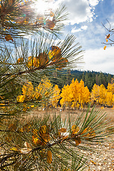 """Aspen Leaves in Pine Tree"" - These yellow aspen leaves that were stuck in the needles of a pine tree were photographed in Fall near Brockway Summit, Tahoe"