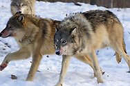 A pack of gray wolves (Canis lupus) run in snowy habitat. Captive pack.