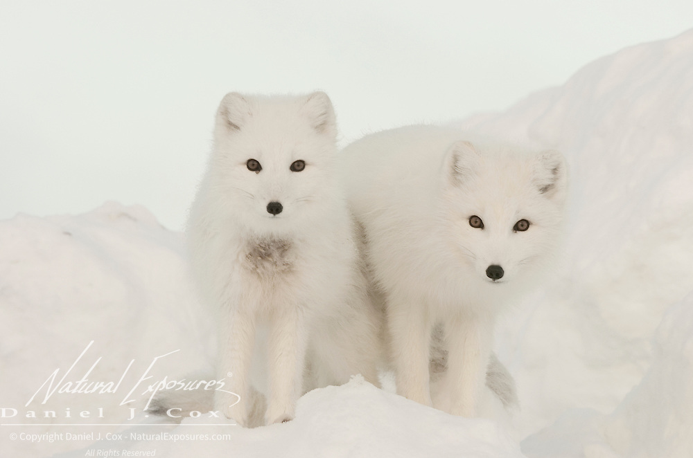 Arctic Fox pair along the ice edge of Hudson Bay, Cape Churchill, near Churchill, Manitoba, Canada.