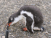 "A Gentoo Penguin chick (Pygoscelis papua) bites a tripod leg, on Aicho Island, Antarctica. ""Don't approach penguins closer than 15 feet,"" says an Antarctic tourism rule in 2005. But if you lie down on the ground more than 15 feet away, a curious Gentoo Penguin chick may approach you. An adult Gentoo Penguin has a bright orange-red bill and a wide white stripe extending across the top of its head. Chicks have grey backs with white fronts. Of all penguins, Gentoos have the most prominent tail, which sweeps from side to side as they waddle on land, hence the scientific name Pygoscelis, ""rump-tailed."" As the the third largest species of penguin, adult Gentoos reach 51 to 90 cm (20-36 in) high. They are the fastest underwater swimming penguin, reaching speeds of 36 km per hour."