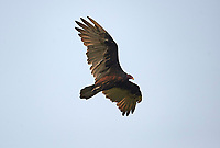 Turkey vulture (Cathartes aura) in flight, Gabriola, BC, Canada.