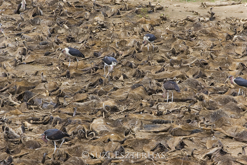 Marabou Stork<br /> Leptoptilos crumeniferus<br /> On wildebeest carcasses in Mara River, Kenya