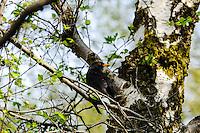 Norway, Stavanger. Blackbird in a tree.