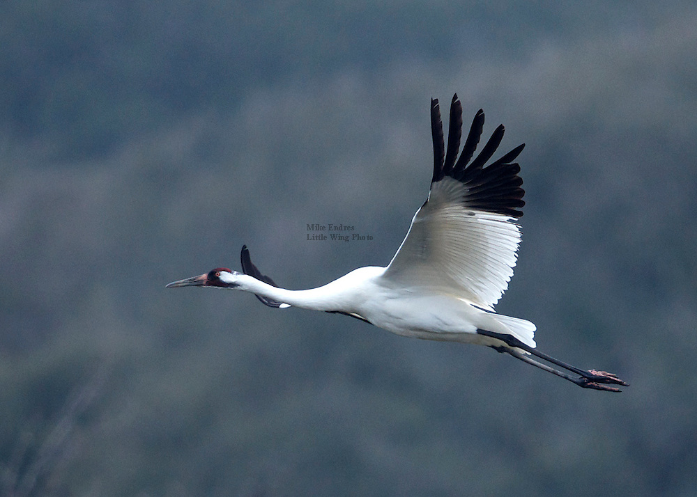 "Whooping Crane, Grus americana, tallest North American bird, 52"", feeds in marshy habitat, remains in family groups year-round, white with black primaries, red crown, Aransas National Wildlife Refuge, Texas"