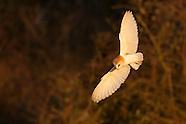 Barn Owl Selection