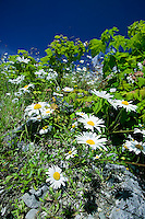 Wild Daisy's growing from rock outcroppings are common sights on Vancouver Island.  Tahsis, Vancouver Island, British Columbia, Canada.