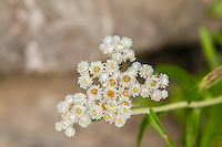 Native to Asia, then introduced into Europe then eventually North America, western pearly everlasting is most commonly seen in dried floral arrangements. It can be found in much of North America, excluding the states that border the Gulf of Mexico. These flowers were photographed in the North Cascades National Park at about 4000 feet in elevation.