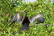 Anhinga dries its wings. Photographed in Pampas, Bolivia
