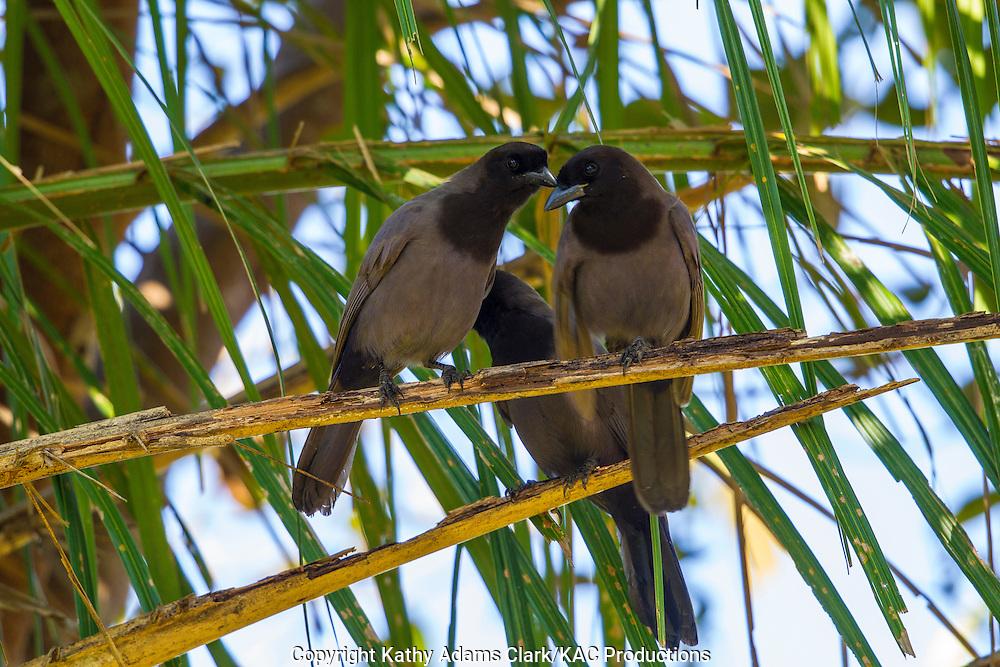 Brazil; Cyanocorax cyanomelas; Mato Grosso; Pantanal; Purplish Jay