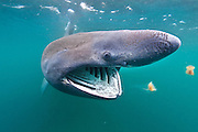 A basking shark (Ceterhinus maximus) feeds on plankton concentrated in surface waters close to the island of Coll, Inner Hebrides. Scotland, UK. North East Atlantic Ocean. Photographed in June 2011.