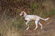 English Setter Puppy Locked Up on Point