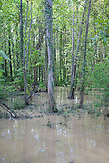 Deciduous woods flooded by heavy rain, Suffolk, England