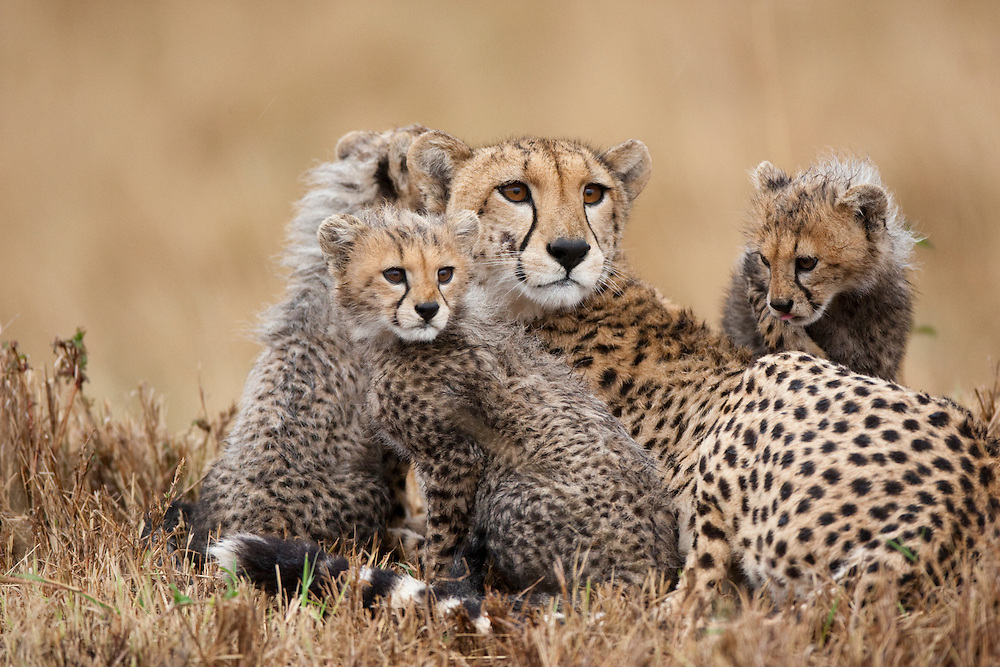 Africa, Kenya, Masai Mara Game Reserve,  Adult female Cheetah (Acinonyx jubatas) resting with young cubs at dusk