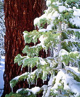 I took my camera out to photograph the icicles on this snow covered red fir tree in the High Sierra.  In my photo I highlight the small tree against the dark trunk of an old growth version.