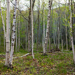 Spring in a paper birch forest on Mount Desert Island near Acadia National Park.